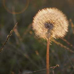 Fine & Dandy (lozadae12) Tags: flower dandelion vsco