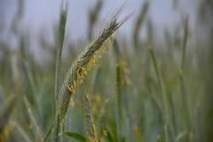 Der Roggen blht / The rye blooms (r.stopable1) Tags: getreide corn grain roggen rye roggenblte bloomofrye schrfentiefe makro kornfeld cornfield pflanze feld field lebensmittel food landwirtschaft farming
