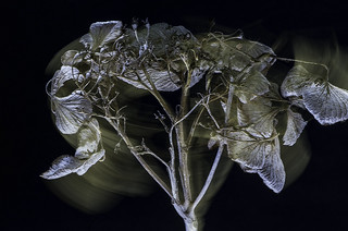 Twisted dried hortensia