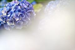 () Tags: flowers blue macro gm heart bokeh hydrangea fe  gmaster