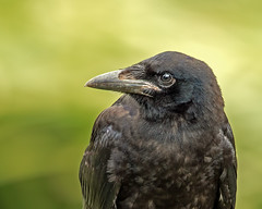 Carrion crow. (boogie1670) Tags: birds canon woodland outdoors yorkshire ngc sigma crow carrion contempory britishbirds wildlifebritish 150600mm canon7dmarkii