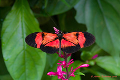 Cool looking longwing (Andrew's Wildlife) Tags: longwing