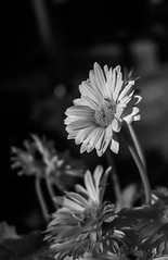 Daisy (MStoeckle) Tags: bw flower nature ir olympus panasonic daisy infrared 25mm epl2