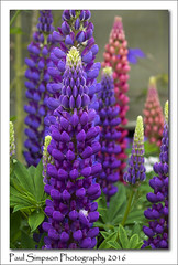 Lupins (Paul Simpson Photography) Tags: flowers summer flower nature colorful summertime colourful naturalworld lupin lupins purpleflowers pinkflowers summerflower naturephotos photosof imageof photoof imagesof sonya77 paulsimpsonphotography