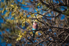 Lilac Breasted Roller (pickering_gareth) Tags: animals southafrica krugerpark lilacbreastedroller
