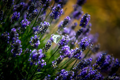 Butterfly  (T.ye) Tags: flowers orange plant colour monochrome contrast butterfly purple bokeh todd tone ye focusing