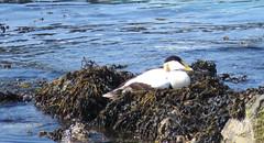 Eider duck, Eigg (Rodents rule) Tags: bird scotland highlands eigg eiderduck somateriamollissima galmisdale