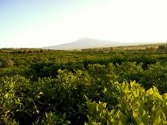 Ranne' (G.L.S.) Tags: summer sky italy panorama orange tree green landscape italia natural country natur natura campagna sicily citrus etna catania sicilia vulcano 2016 lentini orangegroves ranne scordia
