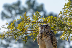 Eurasian Eagle-Owl (Yannis_K) Tags: wildlife owl eagleowl bubobubo portugal badocasafaripark birdofprey bird yannisk nikond7100 nikon70300mmf4556vr bokeh nature natural habitat