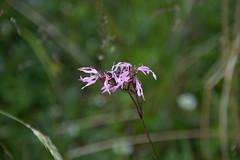Pink (Yvonne L Sweden) Tags: pink summer flower june sweden rosa torpet flikig 3662016