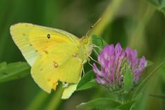 Orange Sulphur (astro/nature guy) Tags: butterfly insect sulphur orangesulphur foxridgestatepark illinoisinsect charlestoninsect foxridgestateparkinsect
