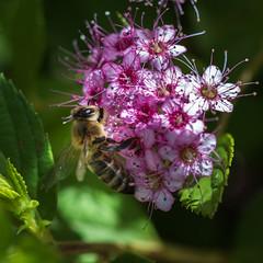 Between light and shadow (S@ndrine Nel) Tags: flower shadows blossom bee bloom abeille spirea spire betweenlightandshadow nelsandrine