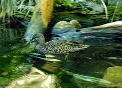 Happiness is (Artist Victoria Watson) Tags: water animal reflections duck outdoor wildlife surreal waterfowl swimmingduck inexplore