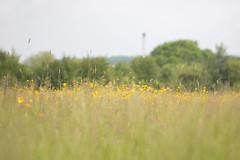 Buttercup Meadow (oandrews) Tags: flowers england flower nature grass yellow canon outdoors flora buttercup unitedkingdom irchester meadow ranunculus gb wildlifetrusts canonuk canon70d ditchfordlakesandmeadows 30dayswild