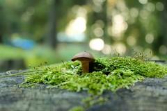 Mushroom (cori573) Tags: tree nature mushroom forest moss woods stump