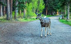mule deer - banf NP, canada (AB) 7 (Russell Scott Images) Tags: canada mountains rocky ab canadian alberta banff banffnationalpark muledeerodocoileushemionus