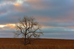 Lone Winter Tree (thefisch1) Tags: pink blue winter sunset sky cold tree grass stem nikon horizon pasture kansas lone fractal lonely prairie nikkor isolated subdued autere