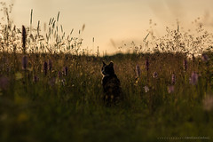 Enjoying the evening sun... (CarolienCadoni..) Tags: flowers sunset sun netherlands animal cat outside photography evening sundown outdoor nederland 85mm drenthe orchis sal85f14z nieuwbuinen sonyslta99