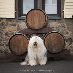 he I found the wine guys ... :) (dewollewei) Tags: dog dogs linz deutschland am wine rhein bobtail wein oes oldenglishsheepdog wijn oldenglishsheepdogs sophieandsarah sophieensarah