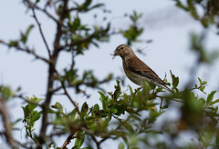 Linotte melodieuse-Linaria cannabina - Common Linnet 966.jpg (Zoizeaux de Gabriel) Tags: commonlinnet linottemlodieuse domainedesoiseauxmazresarige linariacannabina