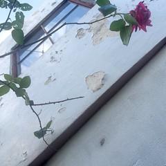 Winter Rose (&Lynx1) Tags: japan wakayama iphone