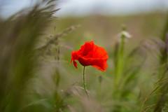 Mohn im Wind (Borderli) Tags: red rot bright wind wiese poppy mohn leuchten windig