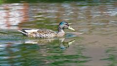 DSC08672_DxO-1600Q96_1cl (Franck Zumella) Tags: reflection bird water rouge duck eau teal mallard bec reflexion oiseau canard brun mottled redbilled