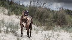 Dog on the beach. (P S H Morgan) Tags: dog animal animals dogs canon 500d sigma 50500mm bokeh outdoors beach victoria australia 90 mile bull arab cross breed hybrid brindle friendly family pet pets
