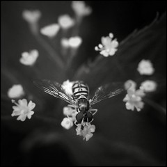 Hover Fly on Blooms -BW 25/52 (Firery Broome) Tags: flowers blackandwhite bw macro nature monochrome closeup insect square blackwhite wings eyes fotograf dof bokeh stripes cellphone maryland 365 blooms hoverfly phonephoto 52 apps iphone whiteflowers naturelovers ipad fairhill earthnature 52weeks cecilcounty artofnature tinyblooms blackandwhitenature phoneography project52 marylandnature iphonenature squarenature iphoneography externallens 52weeksofphotography ipaddarkroom smallhoverfly olloclip snapseed iphone5s monochromebokehthursday