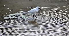 DSC_0993 (rachidH) Tags: nepal lake nature birds pokhara fewa phewa oiseaux egrets littleegret egrettagarzetta aigrettegarzette rachidh