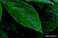 11922820_1104823759547207_7078120734271186448_o (alexgohier) Tags: plante extrieur feuille feuillage