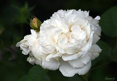 Sunday Rose (Eleanor (No multiple invites please)) Tags: uk rose whiterose bushey 105mmmicrolens busheyrosegarden nikond7200 june2016