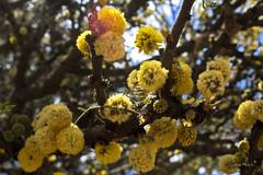 Acacia dealbata (Zeltzin Huicochea) Tags: naturaleza tallo primavera mxico cafe flor amarillo leon bola zelt pequea amarilla belleza diente tipo pelusa bolita florecer huico