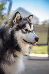 Watching the Neighborhood (vadenet) Tags: dog malamute sled alaskan