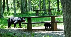 Mama Bear is close by (richard binhammer) Tags: nationalpark picnic bears blueridgemountains blueridgepkwy momandbabybear