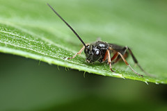Small Ichneumon wasp #2 (Lord V) Tags: macro bug insect wasp ichneumon