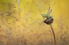 Pointe verte (Elments du temps) Tags: france macro nature bokeh couleurs tamron 90mm sauterelle aquitaine profondeur gironde proxi