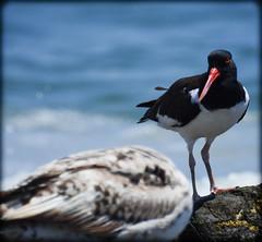 DSCN9823 (DianeBerky19) Tags: ocean beach birds sand seagull gulls oystercatcher jetties nikoncoolpixp900