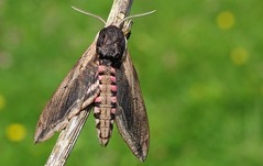 Privet Hawk Moth - Sphinx ligustri 240616 (19) (Richard Collier - Wildlife and Travel Photography) Tags: macro wildlife insects naturalhistory moths privethawkmoth