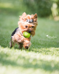GO Lily GO (BHawk Photography) Tags: summer dog yorkie ball lily action yorkshireterrier lilybet bhawkinsphotography