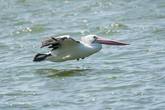 Australian Pelican 710_7941.jpg (Mobile Lynn) Tags: wild nature birds au australia pelican queensland australianpelican noosaville
