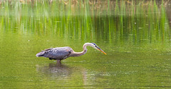 Poised To Strike (Catskills Photography) Tags: bird heron nature water animal reflections wildlife odc canon70300mmllens decsionsdecisions