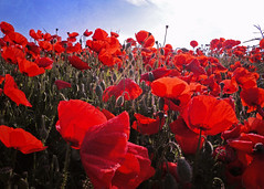 Over the Top.. (Harleynik Rides Again.) Tags: respect anniversary battle poppy 100th somme harleynikridesagain