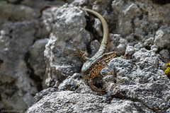 IMG_0797-264 (Martin1104) Tags: fotografie natuur bergen landschap vlinders yagodina snp bulgarije natuurfotografie natuurreis