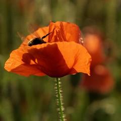 DSC02773_DxO (Yann.O) Tags: fleurs rouge coquelicots