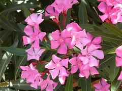 Oleander (Wider World) Tags: greece kefalonia oleander kephalonia cephalonia lourdas
