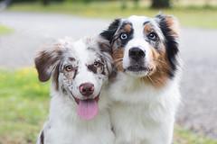 Brooke & Ivy (StarryEyedAussie) Tags: shepherd sheepdog australian hund aussie hunde stadtpark kassel welpe welpen htehund karlsaue junghund aussiebrooke aussieivy