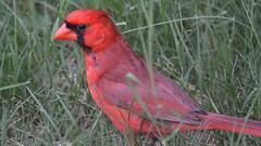 Male Northern cardinal (michaelf133) Tags: bird eye nature photography bill nikon cardinal tail beak 70300mm creatures birdwatching songbird malenortherncardinal birdphotography birdsoftheworld d3100