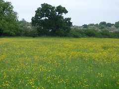 Still golden (Lexie's Mum) Tags: dog nature field walking countryside meadow lester buttercups wak weddington