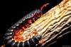 Flat-backed Millipede (Diplopoda, Polydesmida) (elisa_vg) Tags: macro nature animal bug arthropods segments myriapod diplopoda thousandfeet piolhosdecobra myryapoda leptodesmus